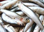 Produce suspende pesca de anchoveta y anchoveta blanca - Noticias de cinco millas